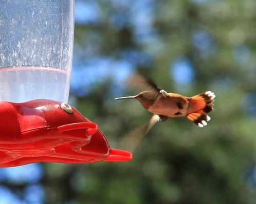 Colorado Hummingbirds (2012)